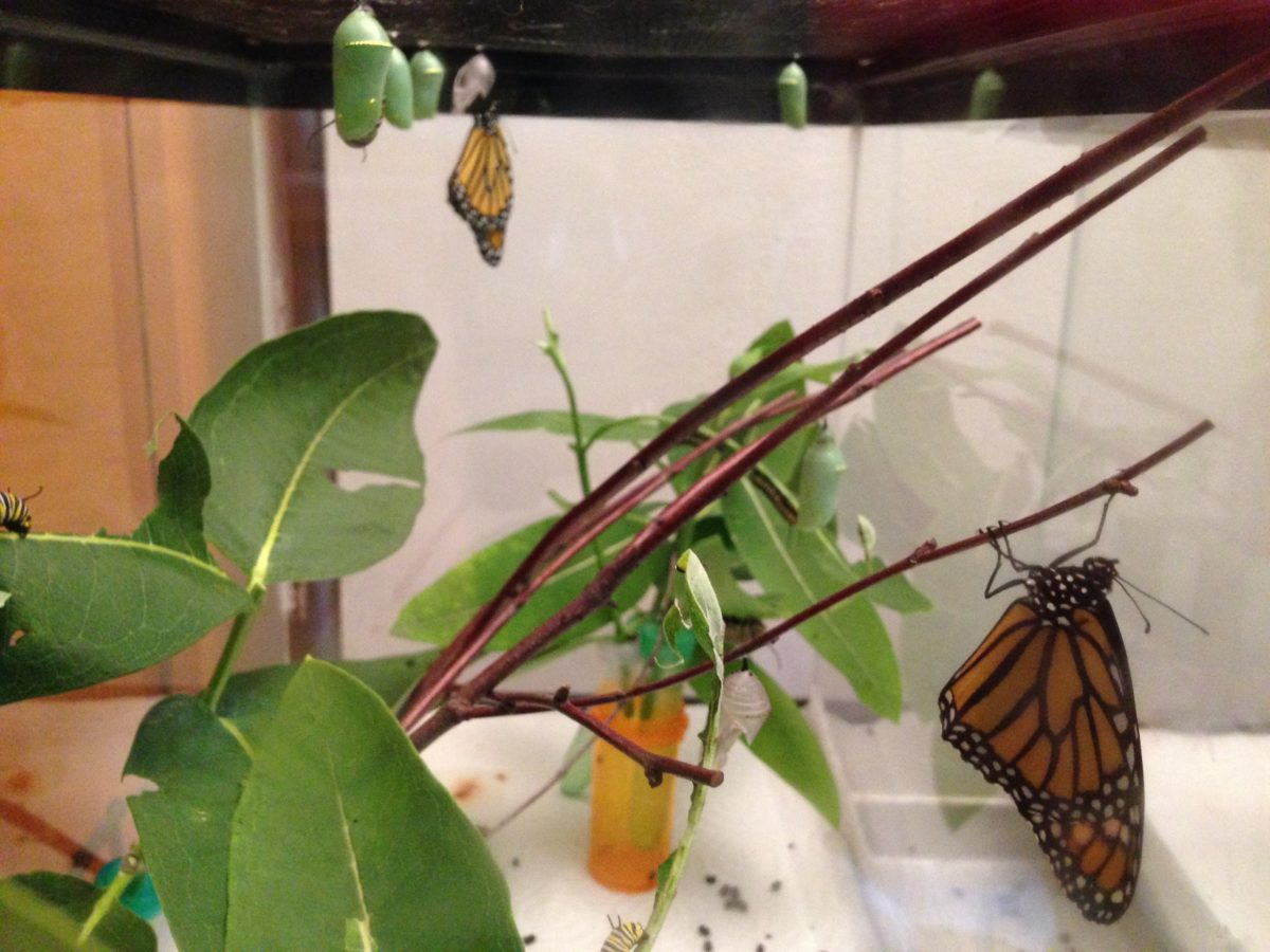 Latest Obsession: Raising Monarchs